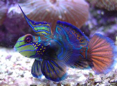 Mandarin Fish